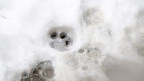 Sporen van Tijger op de witte sneeuw in de winter stock foto's