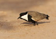 Sporenkievit, Spur-winged Plover, Vanellus spinosus. Sporenkievit gedrukt op de grond; Spur-winged Plover in defence position on the ground royalty free stock photo