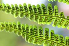 Spores on fern Stock Photo