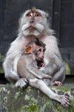 Sporgenza del Macaque con il bambino Fotografia Stock