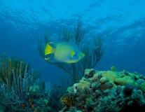 Sporgenza della scogliera con il Angelfish della regina in priorità alta Fotografie Stock