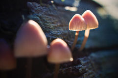 Sporing Funghi. Mycena mushrooms on a tree trunk with their spores lighting up in the air Stock Photo