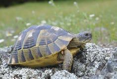 Sporn thighed Schildkröte (Testudo graeca) Stockfotografie