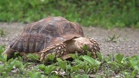 Spornschildkröte, die Blätter isst stock video