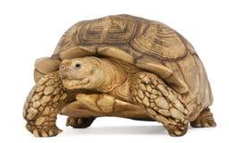 Spornschildkröte, Geochelone sulcata lizenzfreies stockbild