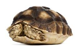 Spornschildkröte, Geochelone sulcata, einjährig stockbild