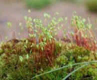 Sporophyte do Linha-musgo capilar (capillare do Bryum) imagem de stock