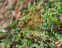 Sporophyte do Linha-musgo capilar (capillare do Bryum) foto de stock