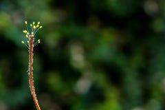 Sporophyte grzyb przy końcówką wysuszona świrzepa fotografia stock