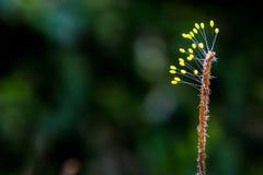 Sporophyte grzyb przy końcówką wysuszona świrzepa obraz stock