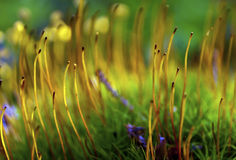 Sporophytes del muschio Fotografia Stock Libera da Diritti