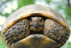 sporra den thighed sköldpaddan Arkivfoto