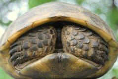 sporra den thighed sköldpaddan Fotografering för Bildbyråer