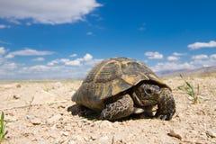 Sporra-thighed sköldpaddan (Testudograecaen) Arkivbilder