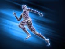 Sport anatomia - biegacz Zdjęcie Stock