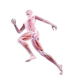 Sport anatomy - runner Royalty Free Stock Images