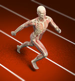 Sport anatomy - runner Royalty Free Stock Photos