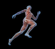 Sport anatomy - runner Royalty Free Stock Photos