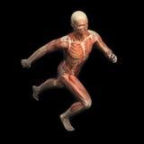 Sport anatomy - runner Stock Photos
