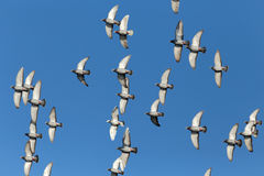 Sport carrier pigeons in flight. Flock of sport carrier pigeons flying against a beautiful deep blue sky during their daily trainning for competition Royalty Free Stock Images