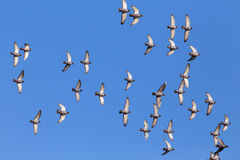Sport carrier pigeons in flight. Flock of sport carrier pigeons flying against a beautiful deep blue sky during their daily trainning for competition Royalty Free Stock Photos