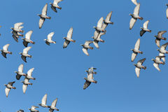 Sport carrier pigeons in flight. Flock of sport carrier pigeons flying against a beautiful deep blue sky during their daily trainning for competition (some of Royalty Free Stock Photo
