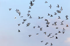 Sport carrier pigeons in flight. Flock of sport carrier pigeons flying against  blue sky during their daily training for competition Royalty Free Stock Images