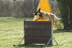Sport del cane Fotografie Stock