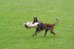 Sport del cane Fotografia Stock