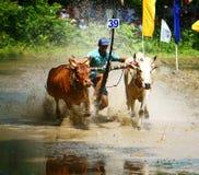 Sport di attività, agricoltore vietnamita, corsa della mucca Fotografia Stock