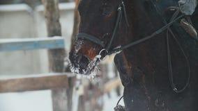 Sport equestre - un cavallo con il cavaliere che cammina nel campo nevoso durante le precipitazioni nevose stock footage