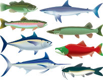 Sport Fish. Illustrations of fish that are caught for sport as well as for food Stock Images