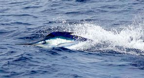 Big marlin fish breaching out of the water. Sport-fishing stock images
