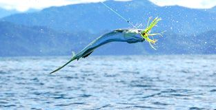 Mahi mahi or Dolphin fish hooked. Huge jump royalty free stock images