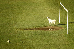 Sport funny photo of a goat goalkeeper Royalty Free Stock Photography