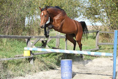 Sport horse jumping in freedom Stock Photo