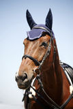 Sport horse portrait during competition with beautiful trappings Royalty Free Stock Photo