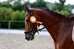 Head shot closeup of a dressage horse during competition event. Sport horse portrait during dressage competition under saddle.Unknown contestant rides at royalty free stock photos