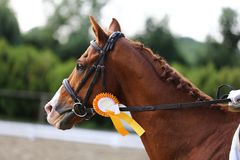 Head shot closeup of a dressage horse during competition event. Sport horse portrait during dressage competition under saddle.Unknown contestant rides at stock photos