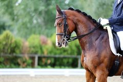 Head shot closeup of a dressage horse during competition event. Sport horse portrait during dressage competition under saddle.Unknown contestant rides at royalty free stock photo