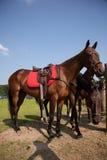 Sport Horses Royalty Free Stock Image