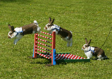 Sport rabbit jumping. Over the fence royalty free stock photography