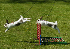 Sport rabbit jumping. Over the fence stock photo