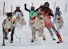 SPORT RACING ACTIVITY IN LAPLAND THE DEER RUNNING COMPETITION LEAGUE royalty free stock photos