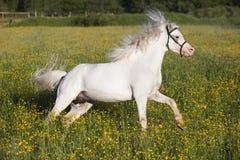 Sportar för vit häst utomhus Fotografering för Bildbyråer