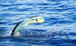 Mahi mahi or Dolphin fish jumping, hooked to a blue lure stock photography
