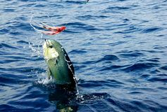 Mahi mahi or Dolphin fish jumping, hooked to a red lure. Sportfishing in Costa Rica for mahi mahi or dolphin fish. Big jump and shake from a male fully grown stock photos