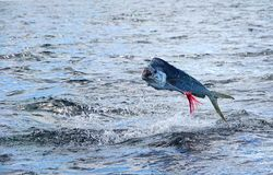 Mahi mahi or Dolphin fish jumping, hooked to a red lure royalty free stock image