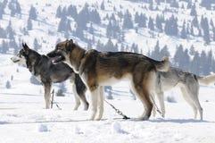Sportieve honden in de berg Royalty-vrije Stock Afbeeldingen