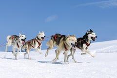 Sportieve honden in de sneeuw Royalty-vrije Stock Afbeeldingen